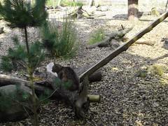 Fife Deer Park - Wild Cat v3 (McColl Family) Tags: st inn andrews peat pittenweem monans