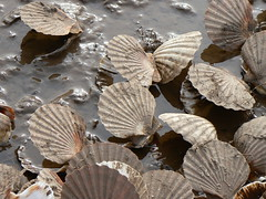 Clam shells, Topsham