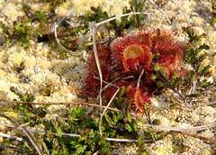 Sundew Plant Flower Tags Plant Flower