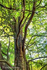 Dawn Redwood-HDR (katejbrown photography) Tags: sanfrancisco california goldengatepark tree nature unitedstates botanicalgarden hdr dawnredwood katejbrown