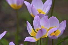 at the dance (Joey Johannsen) Tags: colour netherlands rotterdam joy happiness celebration tuin lente celebrate bloemen trompenburgtuinenarboretum resonateswithorhintsofjoy