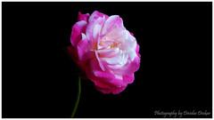 Happy weekend :) (Devidas Deokar) Tags: pink flowers red white black flower macro green nature colors beautiful beauty rose nokia colours natural ngc n8