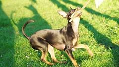 Nala im Stadtpark Steglitz, Berlin (Fotograf M.Gerhardt) Tags: berlin hund haustier pinscher tier sugetier rehpinscher zwergpinscher