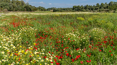 Sea of flowers (hjuengst) Tags: flowers trees red green field spain urlaub feld blumen poppies daisy gras mallorca bume spanien majorca mohn margerite