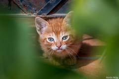 Ojeando (Nando Verdú) Tags: naturaleza verde planta animal metal hojas bokeh alicante ojos gato mirar campo felino bebe viga marron naranja mascota pequeño elda mirando espacio petrer cria azules bigote hueco ojear orejas