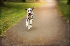 happy (Bea Burin-Herbst | Fotografie) Tags: dog pet nature canon puppy happy spring day outdoor natur wiese 85mm hund haustier dalmatian weg frhling welpe rde dalmatiner petphotography frhlich petphotographer haustierfotograf haustierfotografie