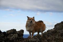 4mai_Thorbjorn_064 (Stefn H. Kristinsson) Tags: dog mountain dogs iceland spring hiking may ma vor hundur sland ganga fjallganga tamron2875mm grindavk hundar grindavik orbjrn nikond800 thornbjorn orbjarnarfell