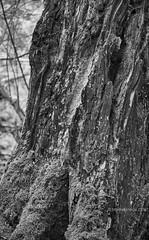 Weathered Tree Trunk, Detail [BW] (Modesto Vega) Tags: tree monochrome iso800 blackwhite nikon treetrunk d600 treetrunkdetail