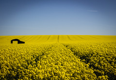 Sixpenny Barn (Robgreen13) Tags: uk blue field yellow barn landscape golden countryside sunny dorset rapeseed cranborne sixpennyhandley