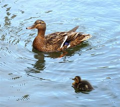 Mom's little sunshine (Eisgrfin (very busy)) Tags: water germany duck ente kcken eisgrfin