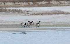 Bernache du Canada - Branta canadensis - Canada Goose - 04 (thierry.nogaro) Tags: canterbury tekapo nouvellezlande