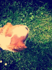 Sunny **Day127** #green #grass #dog #photochallenge #project365 #project366 #aphotoaday #photooftheday #habibahellegouarch #photographer #sun #france #kingcharles (A photo a day by Habiba Hellgouarch) Tags: dog sun france green grass photographer photooftheday kingcharles photochallenge aphotoaday project365 project366 habibahellegouarch