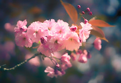 mothers day ingredients (StadtKind - capture the Bokeh) Tags: pink flowers flower tree nature fleur sunshine wow germany cherry petals europe dof blossom bokeh sony depthoffield a7 mothersday japanesecherry kempten bokehlicious pentacon1850 sonya7