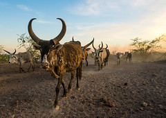 Herd of cows with long horns in an arid and dusty area, Afar region, Afambo, Ethiopia (Eric Lafforgue) Tags: africa travel color tree dusty animal horizontal outside mammal outdoors photography cow cattle farm traditional group horns nobody nopeople tribal longhorns nomad agriculture ethiopia dust tribe livestock bovinae domesticanimals herd bovine onthemove herbivore domesticated horned hornofafrica nomadic eastafrica herder herding abyssinia herders greatriftvalley ruralscene herbivorous fulllenght animalthemes afarregion afambo ethio162774
