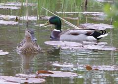 Mallards (seanofselby) Tags: male female pond with pair mallard skip oakmere