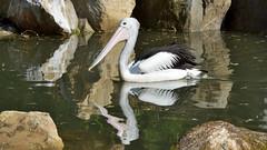 Reflection (Michal Hajek) Tags: bird animal zoo czechrepublic nikkor fantasticnature d5500 55300mm