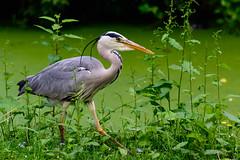 Grey heron (Andrea Bovolo) Tags: macro heron nikon utrecht tamron 90mm airone d7100