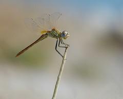 Bellissime (isabellebienfait1) Tags: dragonfly libellule odonate sympetrumfonscolombii isabellebienfait