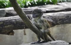Allen's swamp monkey (Allenopithecus nigroviridis) _DSC0156 (ikerekes81) Tags: baby macro cute animal closeup mammal zoo monkey washingtondc smithsonian dc washington nikon allens national swamp nationalzoo kerekes ik istvan guenon thinktank nikond3200 dczoo allensswampmonkey smithsoniannationalzoologicalpark smithsoniannationalzoo d3200 allenopithecusnigroviridis washingtondczoo oldworldmonkey nigroviridis zoosmithsonian 18105mm allenopithecus sb700 istvankerekes allensswampmonkeyallenopithecusnigroviridis