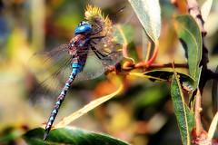 Blue-eyed darner (TJ Gehling) Tags: plant tree insect dragonfly willow darner salix odonata albanyhill anisoptera aeshnidae albanyca rhionaeschna blueeyeddarner rhionaeschnamulticolor cerritocreek