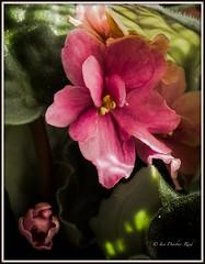 My window sill (idunbarreid) Tags: pink african violet