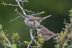 Common Whitethroats (pz320) Tags: england unitedkingdom gb kivetonpark