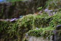 Mossy Steps (g_squiggs) Tags: green forest moss nikon ruins croton mossy westchester oscawana nikond3300 d3300 crotonhudson oscawanapark mcandrewsestate