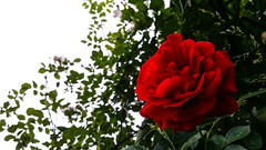 Red rose (adnanefs) Tags: red beautiful rose colorful wide samsung note galaxy