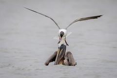 Freeloader (gseloff) Tags: galveston bird texas feeding wildlife brownpelican westbay laughinggull gseloff