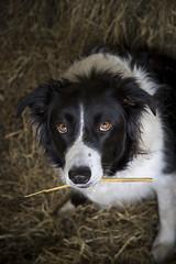 Farm dog (Keartona) Tags: poppy bordercollie dog farmdog hay straw mouth holding eyes cute face