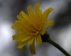 IMG_8898.CR2 (jalexartis) Tags: flowers flower spring dandelion bloom blooms