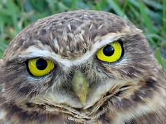 Coruja Buraqueira - burrowing owl (cariselazari) Tags: nature natureza ave owl coruja silvestre corujaburaqueira