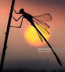 Take A Break (Nick Brundle - Photography) Tags: morning pink sunset summer sky sun sunlight plant flower nature grass animal silhouette yellow vertical horizontal closeup dark circle insect landscape denmark outdoors photography dawn togetherness europe day dragonfly dusk wildlife softness fulllength tranquility grace sphere silence simplicity heat backlit resting relaxation scandinavia sideview damselfly idyllic clearsky frontview elegance individuality jutland tranquilscene fragility beautyinnature spreadwings goldcoloured romanticsky canon70200usmf4