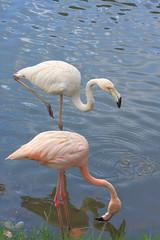 Light pink flamingoes (iorus and bela) Tags: pink holiday bird flamingoes flamingo cuba bela ecovillage 2016 lasterrazas iorus