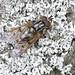 Ferdinandea cuprea (Syrphidae) on lichens