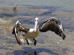 IMG_0451 (biqua) Tags: pelican nsw theentrance
