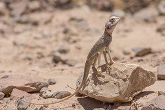 hot hot hot  .....Sinai agama (Agama sinaita)   (RonW's Nature Photography) Tags: macro nature canon israel desert reptile 100mm lizard reptiles herpetology agama   sinaita agamasinaita