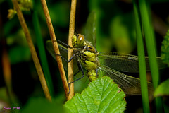 La tercera (loriagaon) Tags: espaa plants naturaleza macro nature animals plantas dragonfly galicia libelula animales pontevedra loria loriagaon rx10lll sonyrx10lll sonydscrx10iii