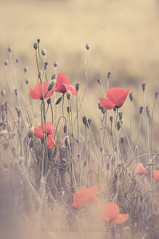 Once again in the wheat fields (johanna151) Tags: wheat field nature landscape poppies red yellow outdoors