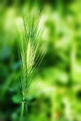Green over green (Mario Ottaviani Photography) Tags: plant color macro verde green texture nature colors grass closeup colore softness seed natura erba growth simplicity ear delicate tamron colori fragility uncultivated sonyalpha greenovergreen