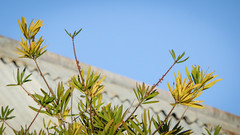 Reaching Up (Theen ...) Tags: australian blue bottlebrush corrugatediron green grey lumix native roofing sky thebarton theen tree yellow