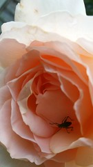 Beauty and the beast (inthepinkJune) Tags: rose beetle beast apricot scent