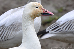 2012-02-24 Snow Geese (19) (D90 Archives) (1024x680) (-jon) Tags: bird geese conway goose pacificnorthwest skagit pugetsound waterfowl anacortes washingtonstate laconner skagitcounty salishsea lessersnowgoose chencaerulescens firisland oiedesneiges skagitwildlifearea d90archives a266122photographyproduction
