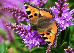 Summerfeeling (GuteFee) Tags: butterflies veronica schmetterlinge hebe kleinerfuchs