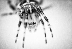 spider (jeolpe) Tags: tiere insekten landtiere 1homepage
