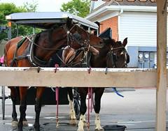IMG_3786 (joyannmadd) Tags: amish horses intercourse pennsylvania kitchenkettlevillage farm animals lancaster coumty pa farms nature outdoors