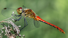 My dragon friend :-) (.: mike | MKvip Beauty :.) Tags: flower macro male green nature berg animal closeup canon germany insect prime spring europe soft dragon dragonfly bokeh availablelight sony ngc sigma naturallight npc zen adapter handheld dreamy manual alpha makro wildflower libelle insekt mth shallowdof odonata anisoptera mnnchen commondarter ef100mmf28macrousm mc11  sympetrumstriolatum primelens manualexposure extremebokeh smoothbokeh sonyalpha bokehlicious manualfocusing groslibelle groseheidelibelle canonef100mm28macrousm afadapter beyondbokeh emount mkvip charpentier1840 sonyalpha6000 ilce6000 sonyilce6000 eftoemount sony6000 6000 sigmamc11 canonefe sigmamc11canonefe
