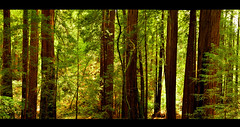 Redwood Peace (Surrealplaces) Tags: california tree nature redwood redwoodforest