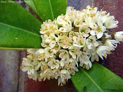 (dietmut) Tags: flowers rotterdam nederland thenetherlands april bloemen sonycybershot 2012 zuidholland hoogvliet zalmplaat sonydsct200 dietmut witwhiteweiss yourfavorites60