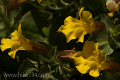 "Yellow Monkeyflower • <a style=""font-size:0.8em;"" href=""http://www.flickr.com/photos/63501323@N07/6997842078/"" target=""_blank"">View on Flickr</a>"